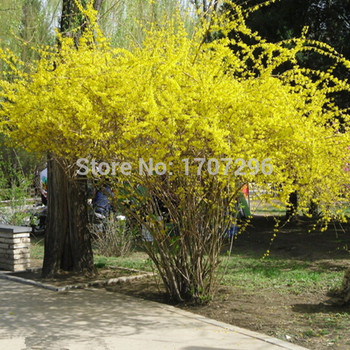 Ağlayan Forsythia Bonsai, Ev bahçe bonsai-50 pcs